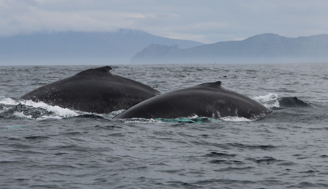 2 humpbacks travelling together 2