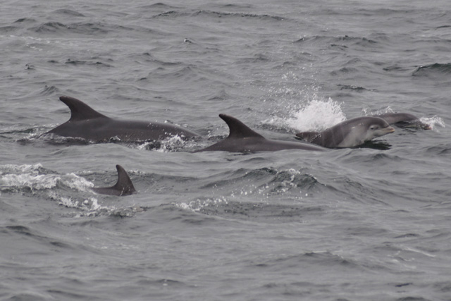 bottlenose dolphins with juvenile