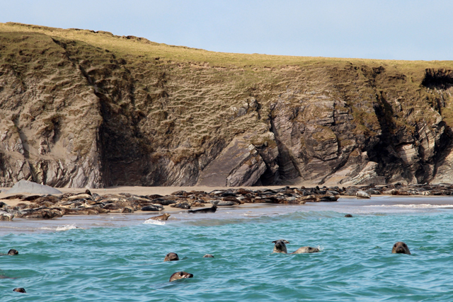 grey seals on blasket island dingle ireland 2