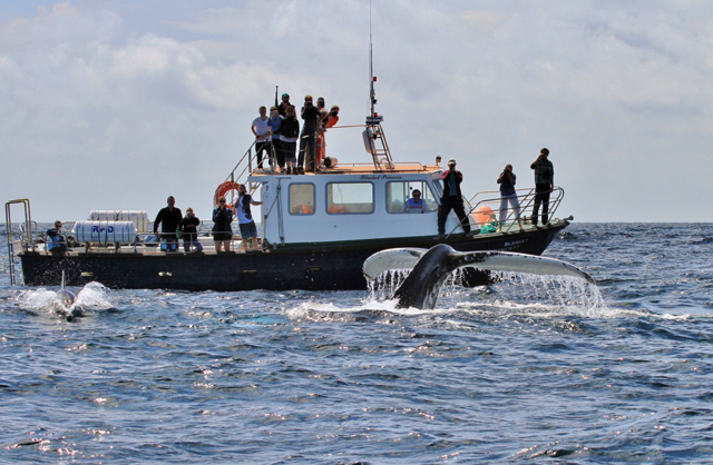 humpback whale and eco tour boat