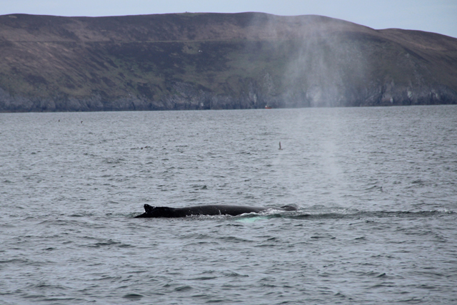humpback whale south of Great Blasket Island