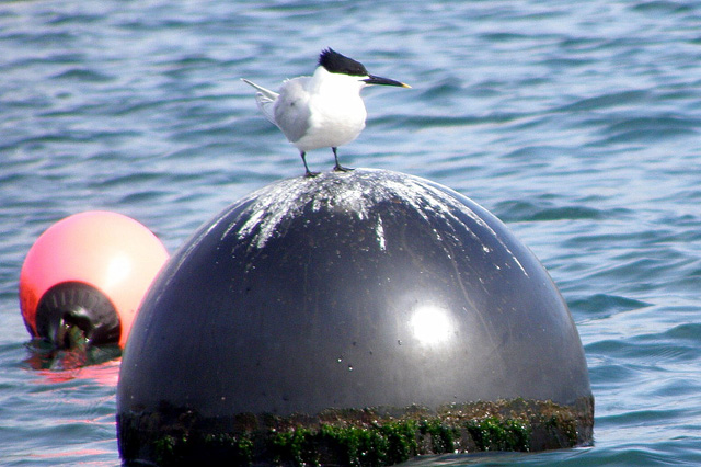 Sandwich_tern_on_the_mooring