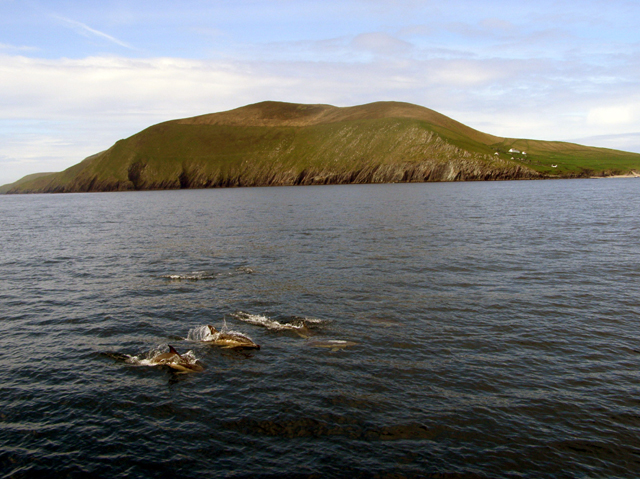 common_dolphins_at_Great_Blasket_Island