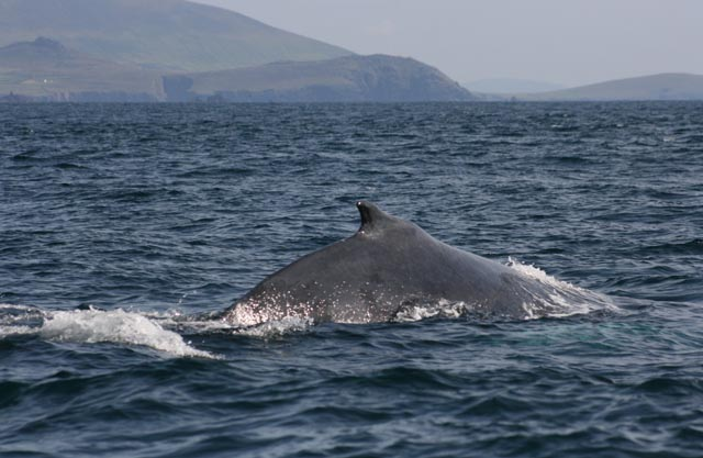 a humpback in west kerry photo by nick massett
