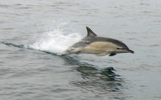common_dolphin_2_photo_by_charles_collins