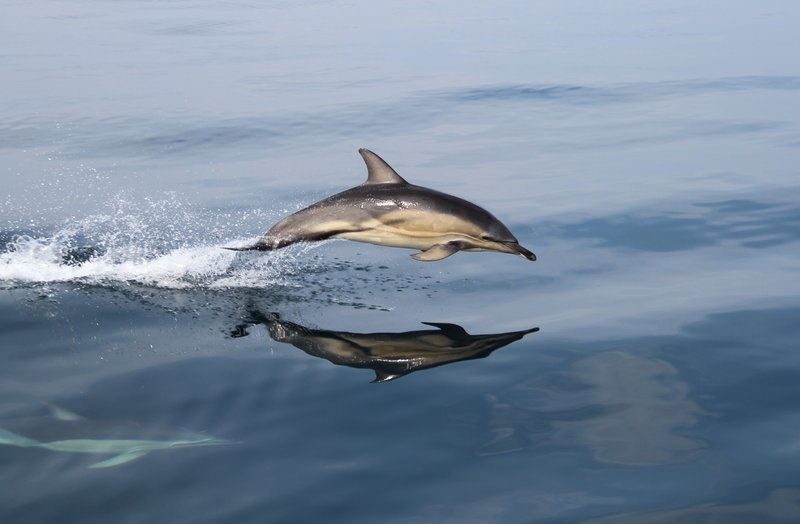 Common dolphin Dingle Peninsula