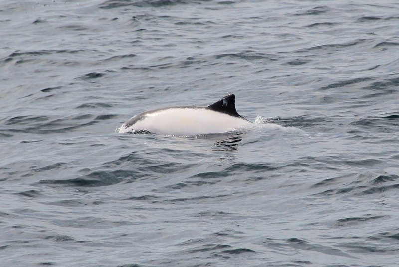 leucistic harbour porpoise in Dingle Bay