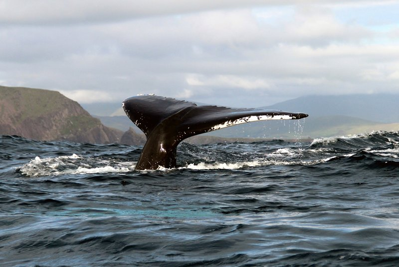 humpback whale fluke off Dingle Peninsula