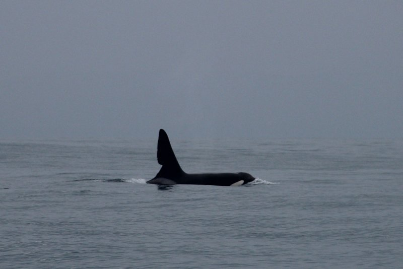 John Coe killer whale in Dingle Bay