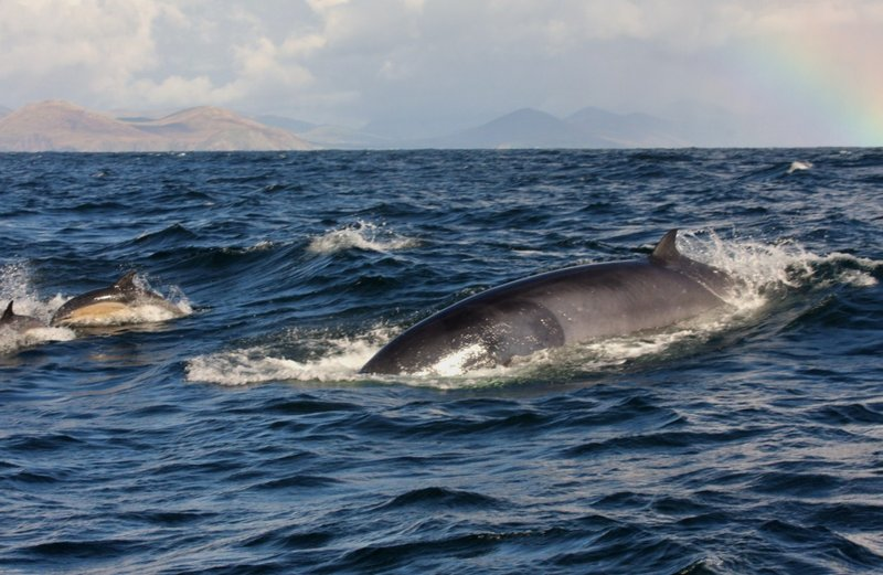 minke whale in Dingle Bay