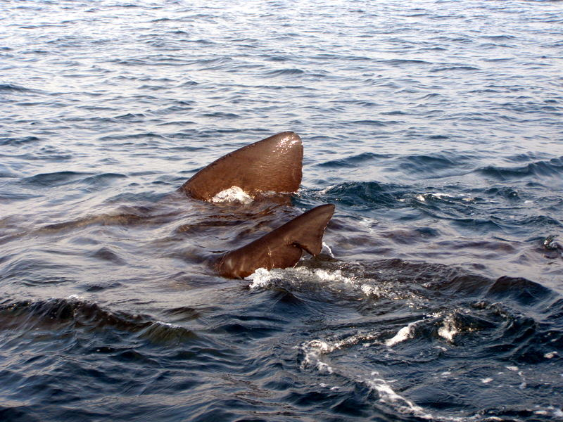 Two Basking Sharks side by side