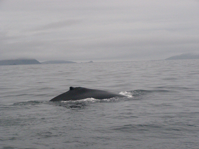 Whales, Dolphins, Basking shark, Seals, Puffins,Blasket Islands, Dingle Bay, Kerry, Ireland