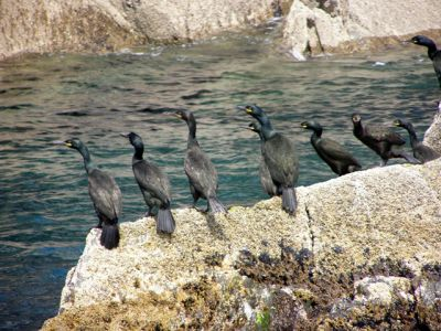 shags on rock
